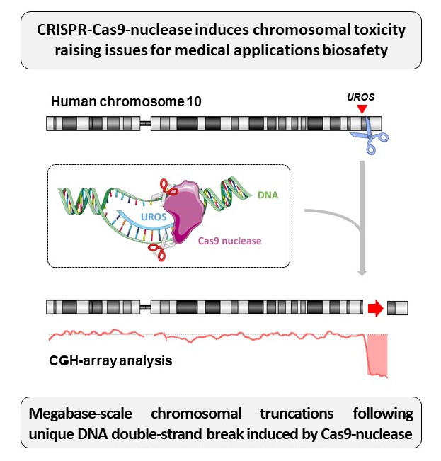 CRISPR-Cas9 induces chromosomal extremity loss.
